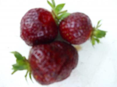 Erdbeere Schwarzer Peter Fragaria x ananassia