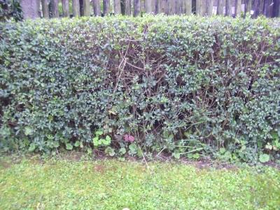 Heckenliguster getopfte Pflanze