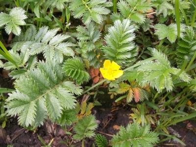 Gänsefingerkraut Pflanze