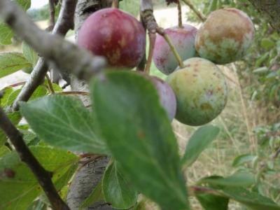 Löhrpflaume Prunus Samen