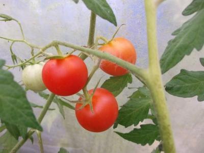 Tomate Harzer Kind Samen