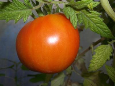 Tomate Peach Blow Sutton Samen