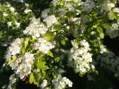 Zweigriffeliger Weißdorn Samen