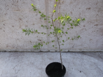 Europäische Lärche Pflanze