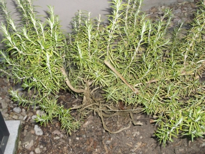 Winterharter Rosmarin Arp Pflanze