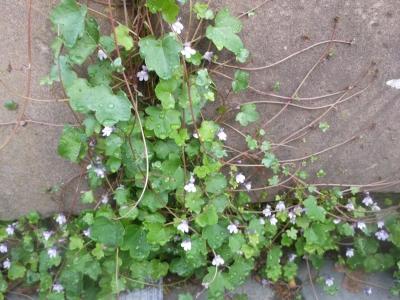 Zimbelkraut Cymbalaria mularis Pflanze