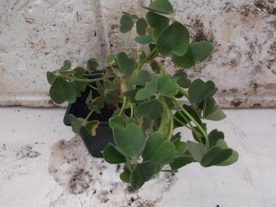 Knolliger Sauerklee rot Oxalis tuberosa Pflanze