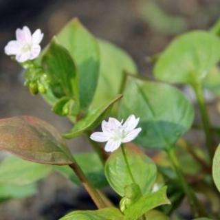 Sibirischer Winterportulak Montia sibirica Samen