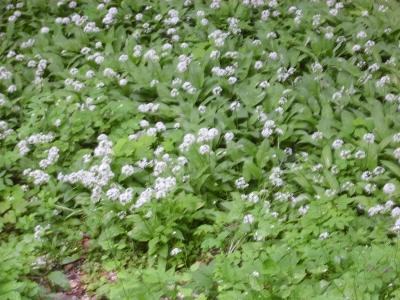 Nordamerikanischer Ramplauch Allium tricocum Samen