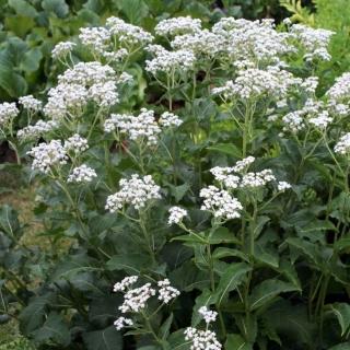 Wildes Chinin Parthenium integrifolium Samen