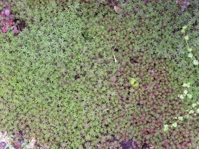 Weißer Mauerpfeffer Coral Carpet Pflanze