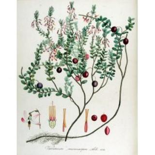 Cranberry Vaccinium macrocarpon Samen