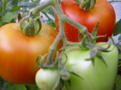Tomate Harzfeuer Samen