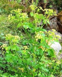 Schwarze Gelbdolde Smyrnium olusatrum Samen