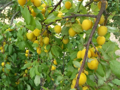 Türkische Pflaume (Prunus cerasifera)Gelbe Kirschpflaume Pflanze