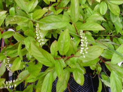 Amerikanische Rosmarinweide Henrys Garnet Pflanze