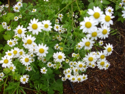 Mutterkraut Chrysanthemum parthenium Pflanze