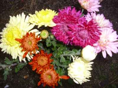 25 Gartenchrysanthemen in 5 Farben großblumig,gefüllt