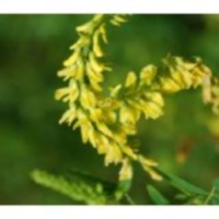 Echter Steinklee Melilotus officinalis Samen