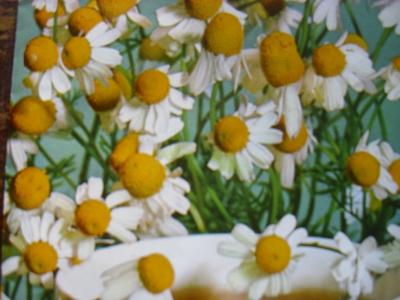 Echte Kamille Matricaria recutita Samen