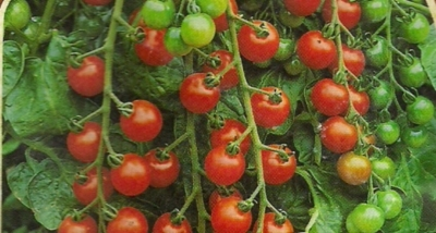 Tomate Cocktailtomate rot Samen