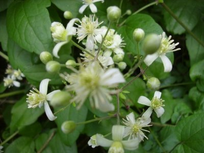 Duftclematis Pflanze