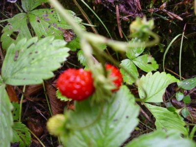 Monatserdbeere Rügen Pflanze