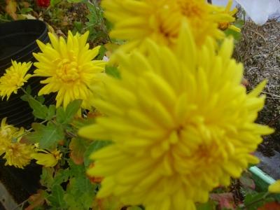 Gartenchrysantheme rot gelb Pflanze