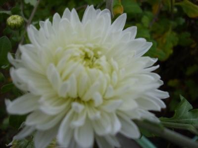 Gartenchrysantheme Evelyn Busch Pflanze