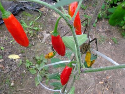 Chili Onza Samen
