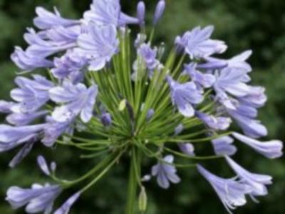 Afrikanische Schmucklilie Blue Giant Samen