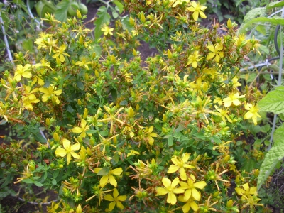 Johanniskraut Hypericum perforatum Samen