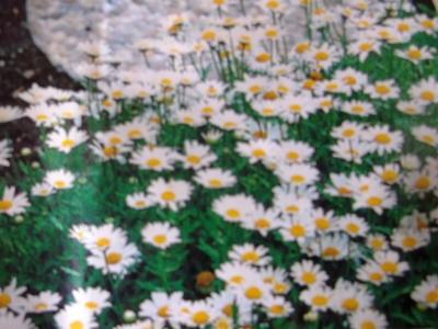 Zwergmargerite Chrysanthemum paludosum Samen