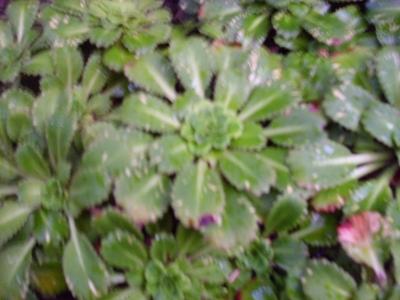 Rosettensteinbrech Pflanze