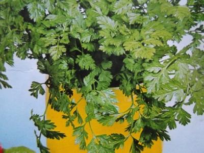 Kerbel Anthriscus cerefolium Samen