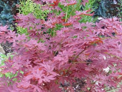 Fächerahorn Acer palmatum Atrolineare veredelt