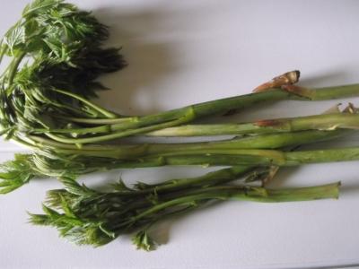 Waldgeißbart Zweiweltenkind Aruncus dioicus Pflanze