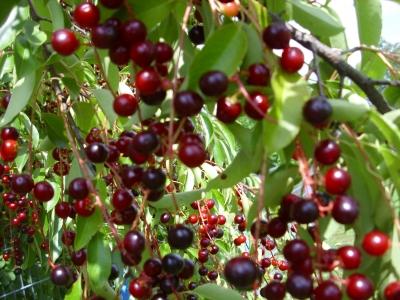 Amerikanische Traubenkirsche Prunus serotina Samen