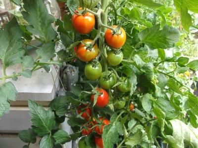 Tomate Baumtomate De Berao Gigant getopfte Pflanze