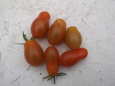 Tomate Small Egg Samen