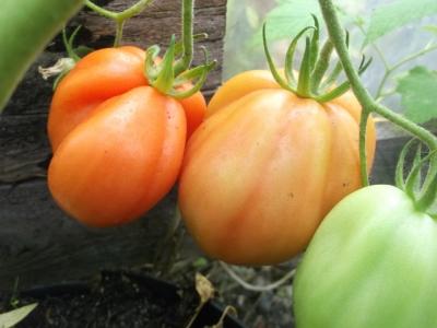 Tomate Tlaculola Samen