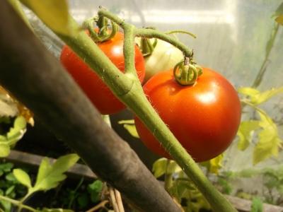 Tomate Ailsa Craig alte Sorte Samen