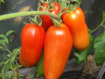 Tomate Andenhorn Samen