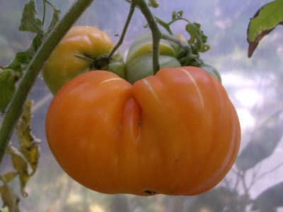 Tomate Ananastomate Pineapple Samen
