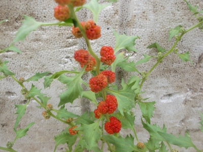 Ähriger Erdbeerspinat Samen