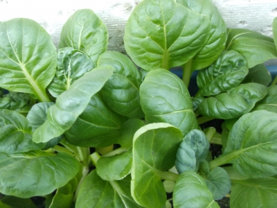Asia Gemüse Mini Pak Choi Samen