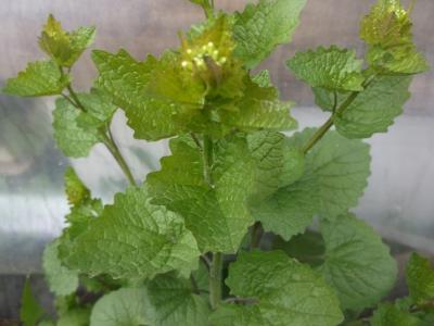 Knoblauchrauke Pflanze