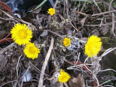 Huflattich Tussilago farfara Pflanze
