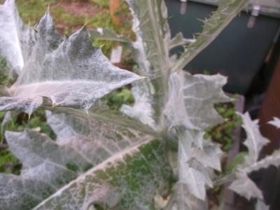 Eselsdistel Onopordum acanthium Krebsdistel Pflanze