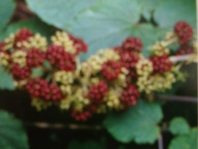 Amerikanische Narde Aralia racemosa Pflanze